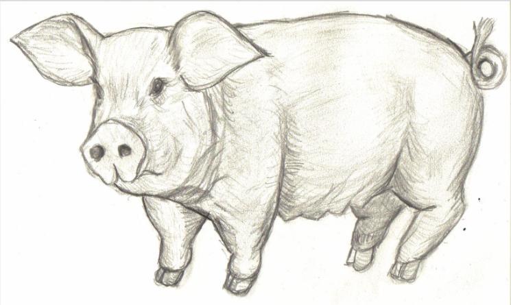 Sculi dessin cochon - Dessin cochon mignon ...