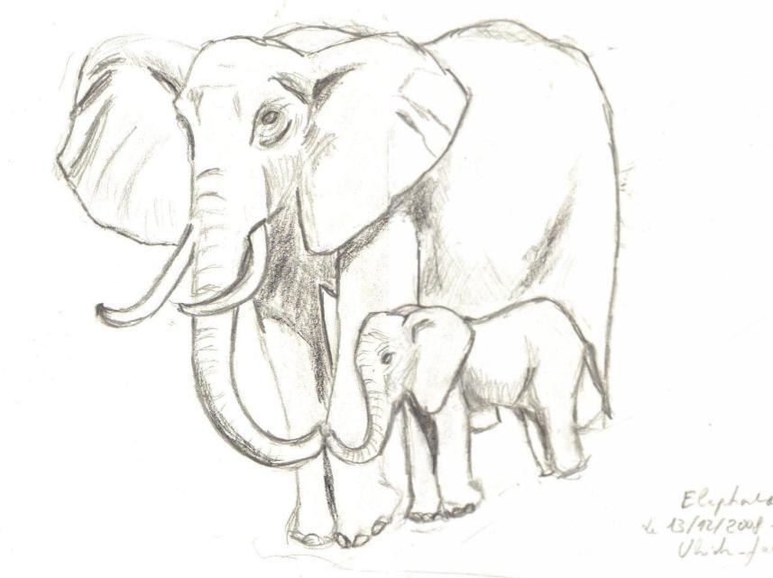 Sculi dessin l phant d 39 afrique elephante et el phanto - Dessin d elephant ...